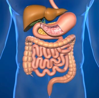 Bauchspeicheldrüse, Leber, Enzyme, Fettsäure, Eiweißstoffe, Glukose, Lymphgefäße, Nieren