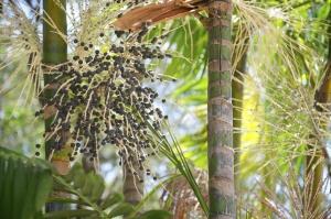 Acai Aa Palm Fruit Tree Close-Up